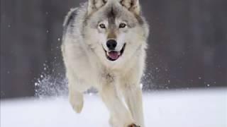 Odgłosy wilka