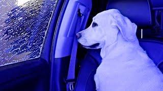 Labrador's React To The Car Wash!!