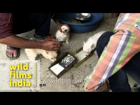 Dog traders force feed puppies before sale in Bihar, India