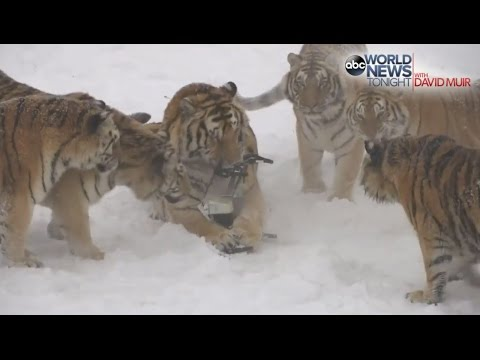 Tigers vs Drone: Watch Siberian Tigers Destroy Drone!