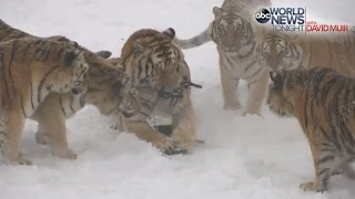 Tigers vs Drone: Siberian Tigers Destroy Drone | ABC News
