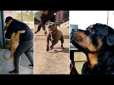 Which dog is most playful and Friendly ? : Rottweiler : Pitbull : Golden Retriever