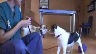 Jack Russell Terrier (jrt) Aggression When Blowing In Face | Drsophiayin.com