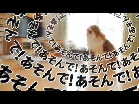 テレワーク中のパパの昼休みに猛烈に遊んでアピールをする猫