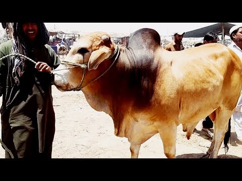 Смотрите сегодня видео новости Qurbani Eid 2018 per Janwary Sastay Yah  Mehngay - Sahiwal Bull - Cholistani Bull in Cow Mandi на онлайн канале  Russia-Video-News Ru
