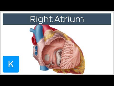 Right Atrium - Definition, Function & Anatomy - Human Anatomy |Kenhub