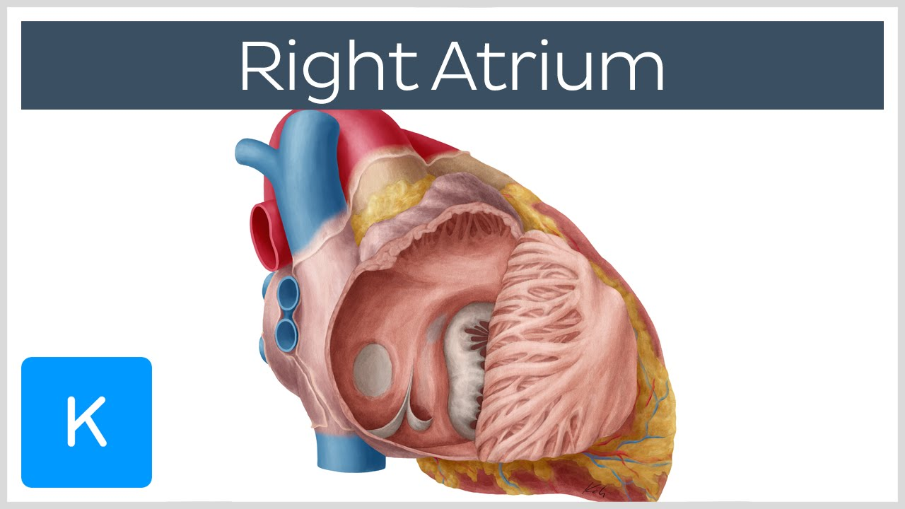 Right Atrium Location Anatomy Function Human Anatomy Kenhub