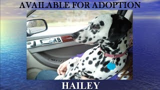 2014 Willing Hearts Dalmatian Rescue Deaf Dogs Available For Adoption