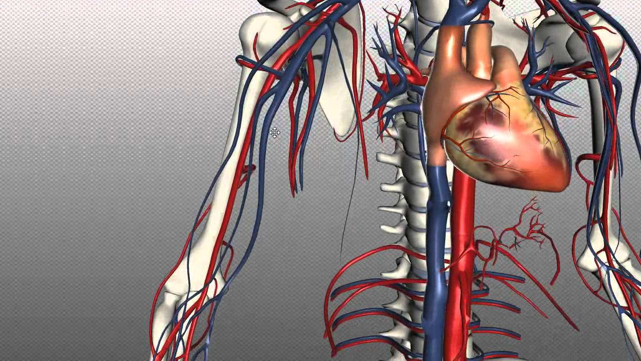 Human Vascular Anatomy Diagram 2002 Ford Falcon Au Wiring Veins Of The Body Part 1 Tutorial Youtube