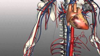 Video Veins of the body - PART 1 - Anatomy Tutorial download MP3, 3GP, MP4, WEBM, AVI, FLV Juli 2018