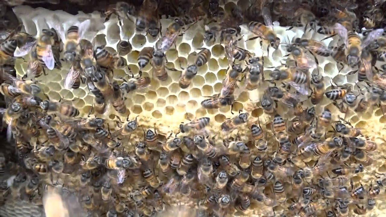 Colmena de abejas africanas