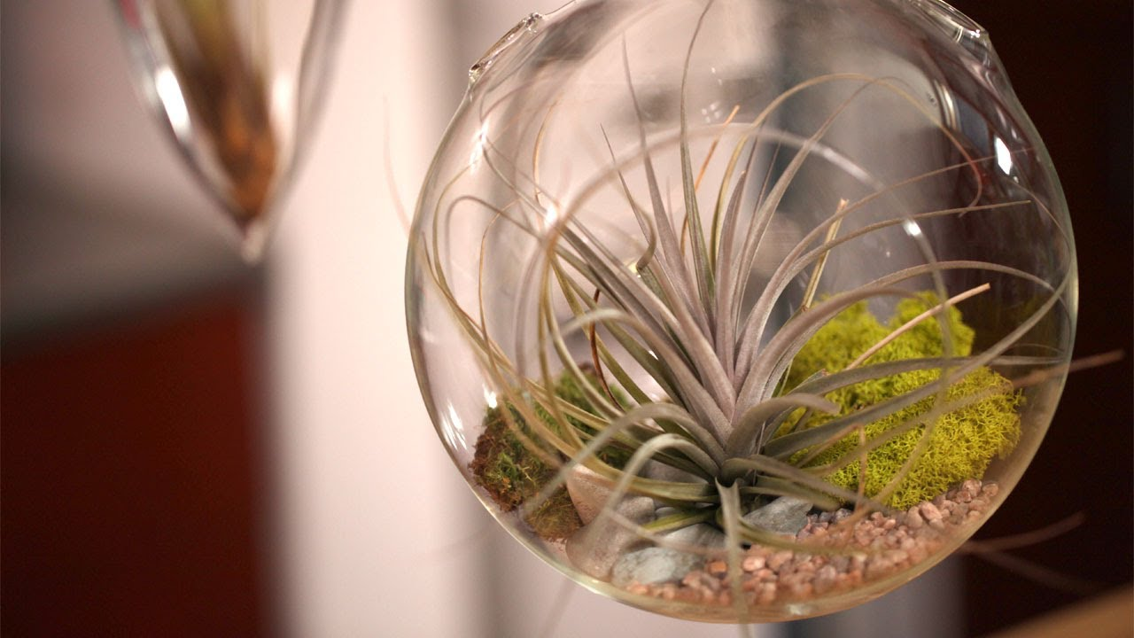 How To Make Air Plant Terrariums Youtube