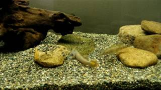 カワヨシノボリとスミウキゴリの混泳