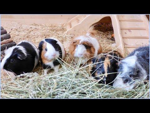 Why Guinea Pigs Need Company