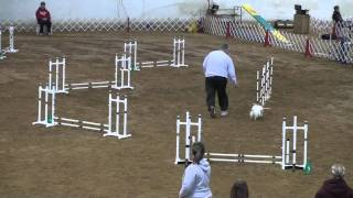 Pomeranian Agility Dog Gets The Zoomies