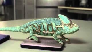 Хамелеон меняет цвет.mp4