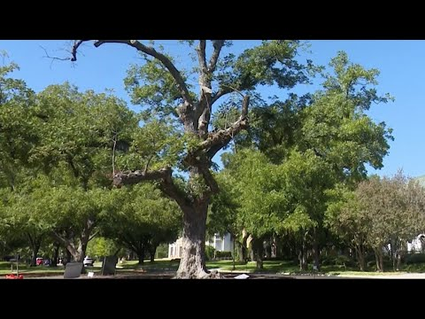 Highland Park community says goodbye to 150-year-old beloved pecan tree