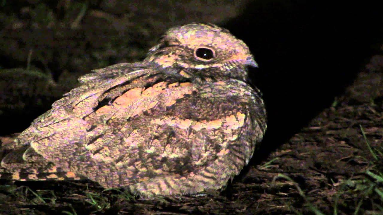 фото козодой птица