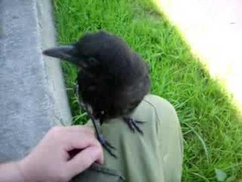Crow won't go.
