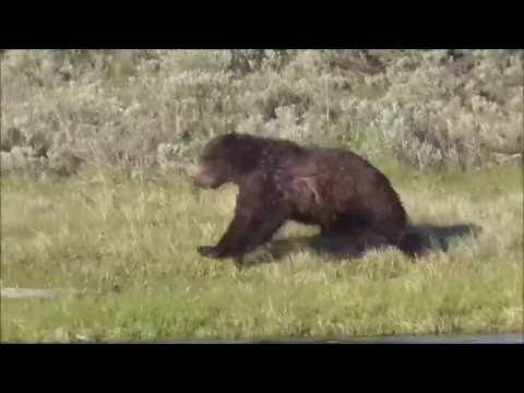 Grizzly Bear Having Fun In River (Part two) Hayden valley ,Yellowstone