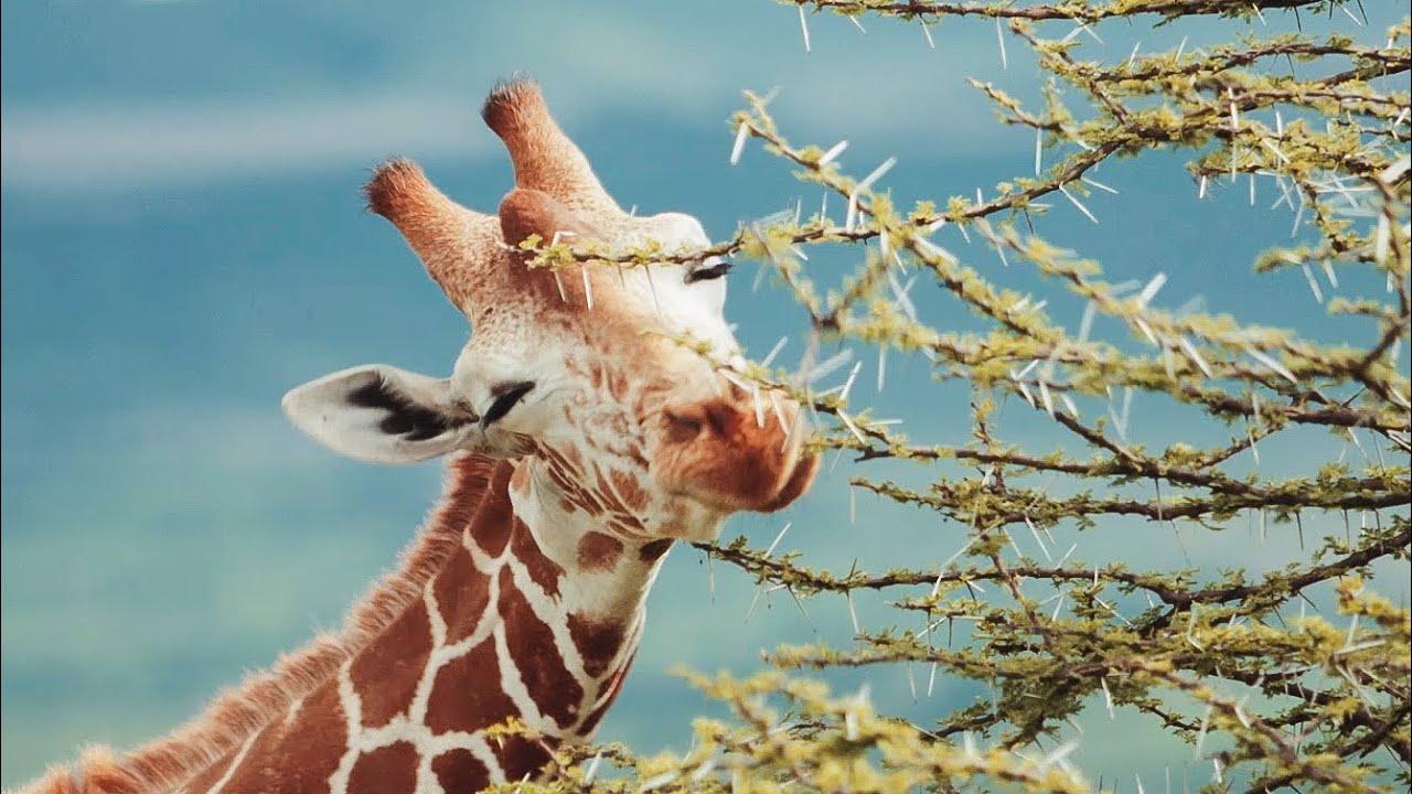 Relax On A Kenyan Wildlife Safari   Chill, Sleep, Mindfulness   BBC Earth
