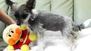 2009年10月21日生まれのチャイニーズクレステッドドッグの子犬です。 ht...