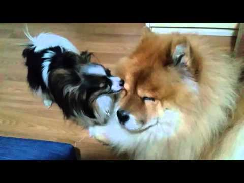 Mozzie the papillon taking care of Simba the chow chow!