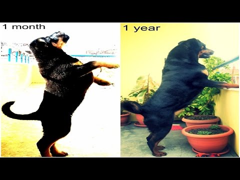 AMAZING! Watch Rottweiler Puppy Grow! (0-365 days)