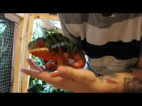 Panther Chameleon UNBOXING (Canada) Red River Valley Exotics