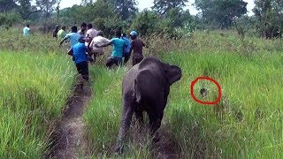 vuclip Treating Baby tusker injured by a Hakka patas !