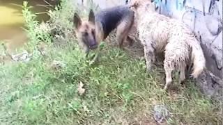 German Shepherd Rescues Golden Retriever Joke Awesome! Moitostv