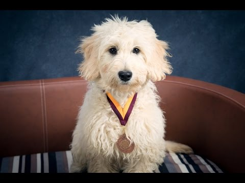 Piper - Goldendoodle Puppy - 2.5 Weeks Residential Dog Training