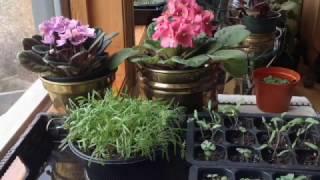 How to Grow Dill Microgreens