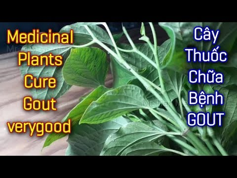 Cây Thuốc Chữa Bệnh Gout rất tốt – Mr Tien-Medicinal.