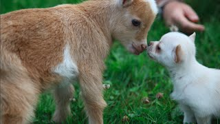 Chihuahua Puppy Thinks Shes A Baby Goat