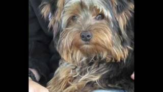 Montage My Yorkshire Terrier,yorkies Names Mojo French Version