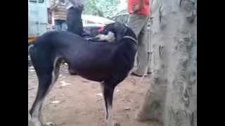 Kanni Dog In Madurai Kennel Dog Show 2013