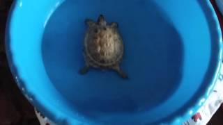 Уход за сухопутной черепахой. Водные процедуры. Часть 1.
