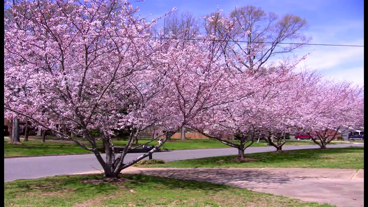 Time Lapse Of My Cherry Trees Blooming In Spring 2009 Youtube