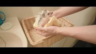 【Vlog】ハリネズミを初めてのお風呂に入れてみた 我が家で飼っているハリネズミ(きなこ)を初めてお風呂に入れてみました。 使用機材 ・SONY...