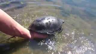 Болотная черепаха гребет