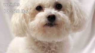 Dogs 101: Bichon Frise