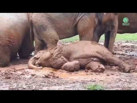 Baby Elephant trying to wake her cousin up with her foot