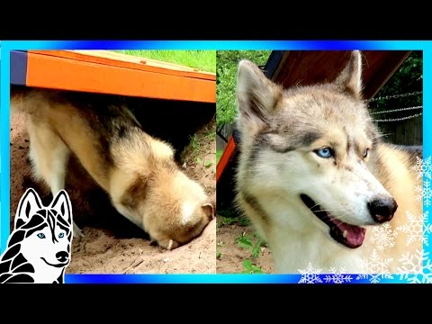 HUSKY DIGGING LIKE CRAZY ! Do Huskies dig? | Snow Dog Short 57