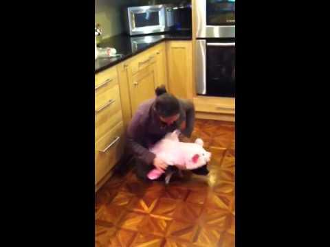Mini pig screams and squeals