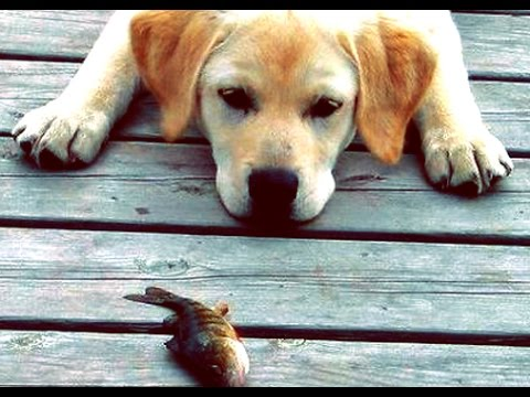 Dog tries to save fish's life - HD-