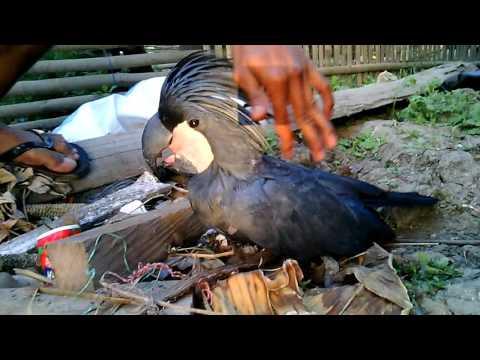 Pesona Papua: Burung Kaka Tua Raja Warna hitam - #Vlog Merauke Papua
