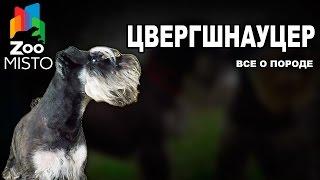 Цвергшнауцер - Все о породе собаки | Собака породы Цвергшнауцер
