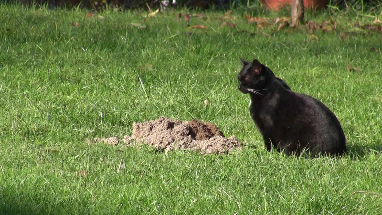 Cat Digging Up Moles - Youtube-1316