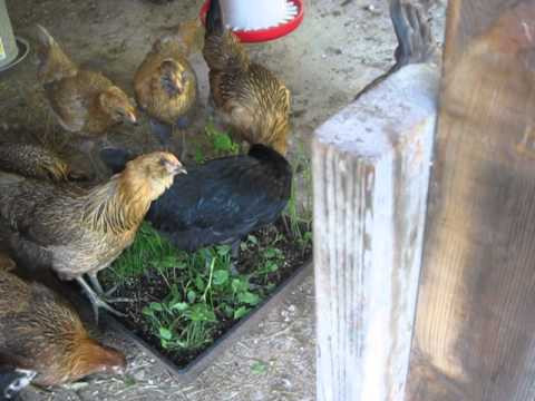 My 15 week old pullets eating PVFS Omega-3 organic forage